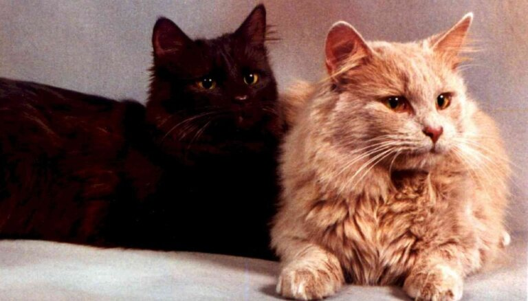 Kaķu šķirne: zīdainais kaķis