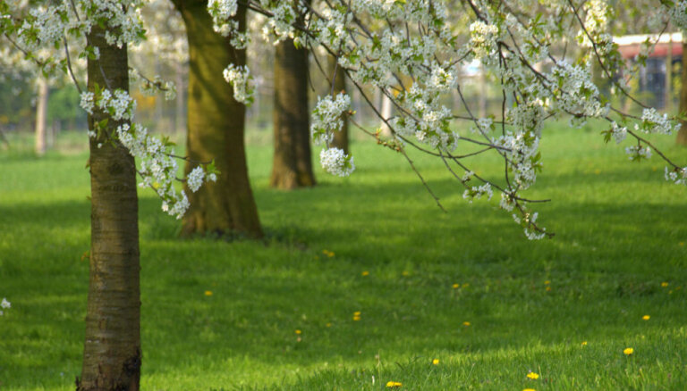 Augļu koku un krūmāju pavasara mēslošana – kādus līdzekļus izvēlēties