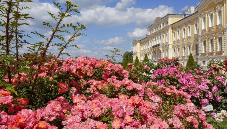 Krāšņi foto: Rundāles pils ieskauta iespaidīgās rožu kupenās