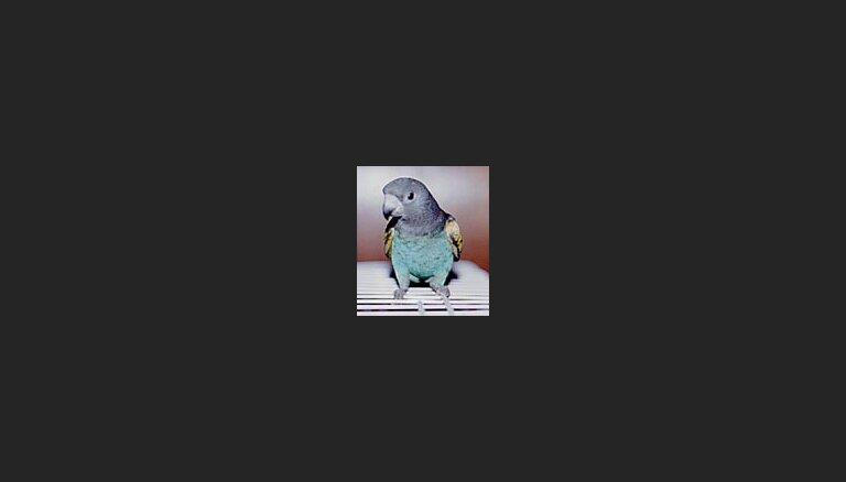 Tiesa piespriež 10 dienu ilgu cietumsodu par papagaiļa izcepšanu mikroviļņu krāsniņā