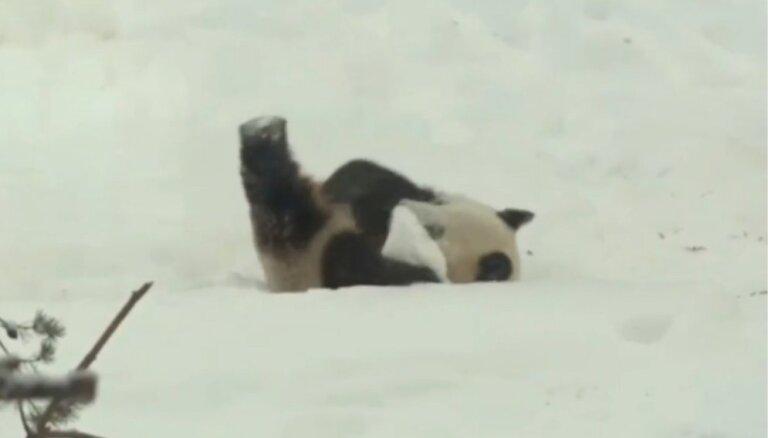 Video: Panda Somijā lustīgi kūleņo pa sniegu