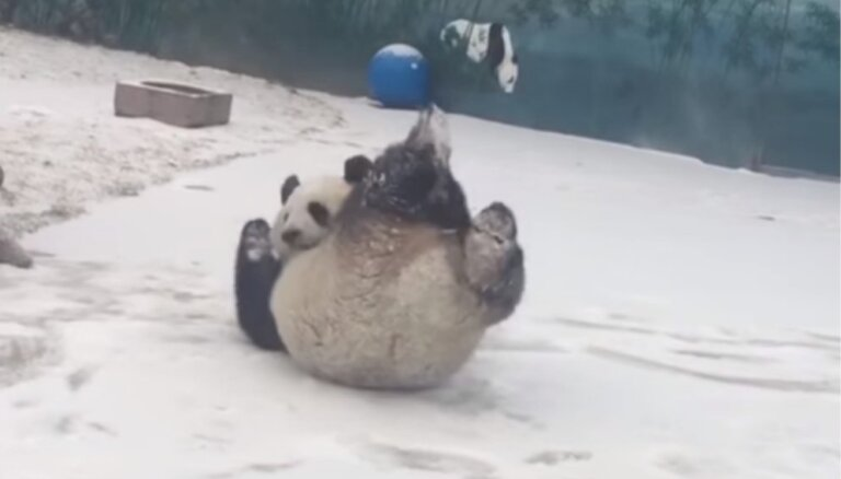 Video: Panda priecājas par sniegu un met kūleni