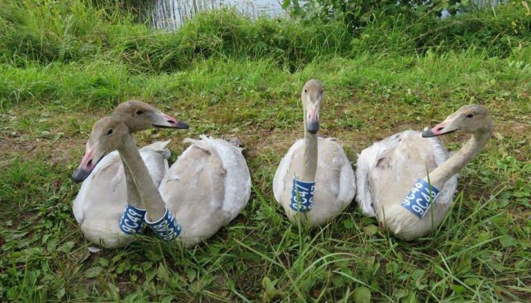 В Латвию вернулись первые перелетные птицы