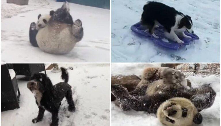 Nepalaid garām ziemu – iedvesmojoši zvēru piemēri sniega prieku baudīšanai