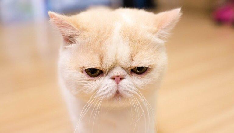 Foto: Kaķis ar vienmēr bēdīgu skatienu – īsspalvainais eksots