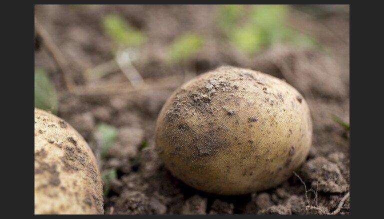 Latvijas veikalu tīkli sākuši tirgot pirmās vietēji audzēto kartupeļu ražas