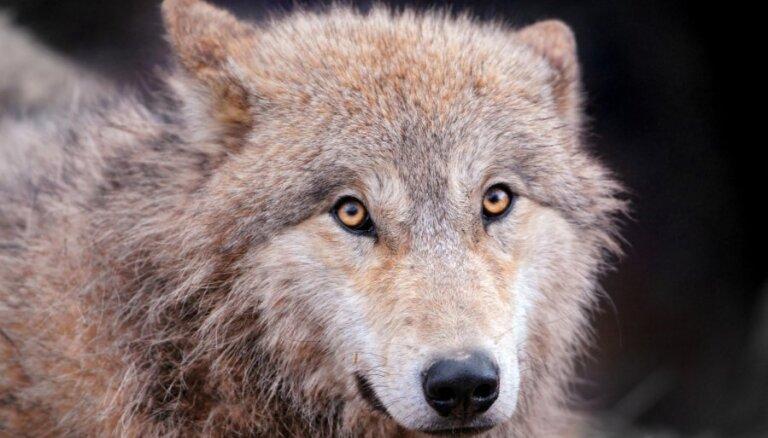 Dabas muzejā ģimenes ar bērniem varēs godāt un iepazīt gada dzīvnieku - vilku
