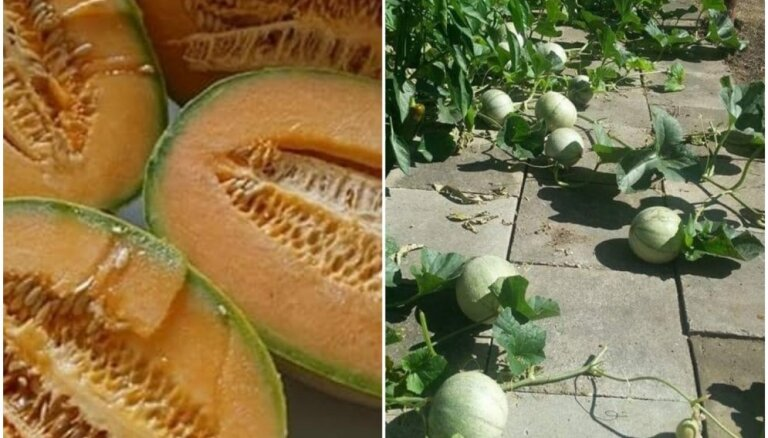 Pieredzes stāsts: kā uz betona plāksnēm izaudzēt brangas melones