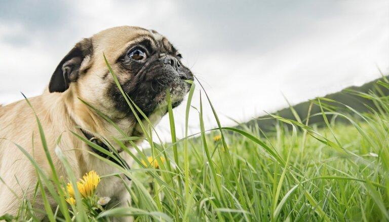 Suns ēd zāli, zemi vai citu dzīvnieku fekālijas: vetārsti min iespējamos iemeslus