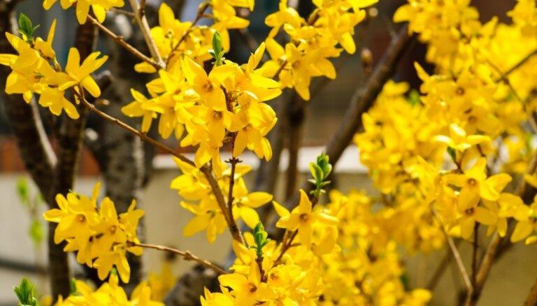 Forsītija – saulainais krūms, kas zied pirms lapu plaukšanas