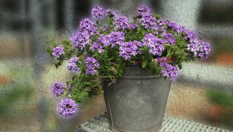 Verbēna - košā puķe, kas piesaista tauriņus un zied visilgāk