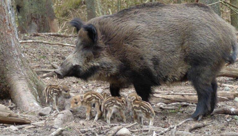 Līgatnes dabas taku mežacūku pārim piedzimuši nebēdnīgi sivēniņi