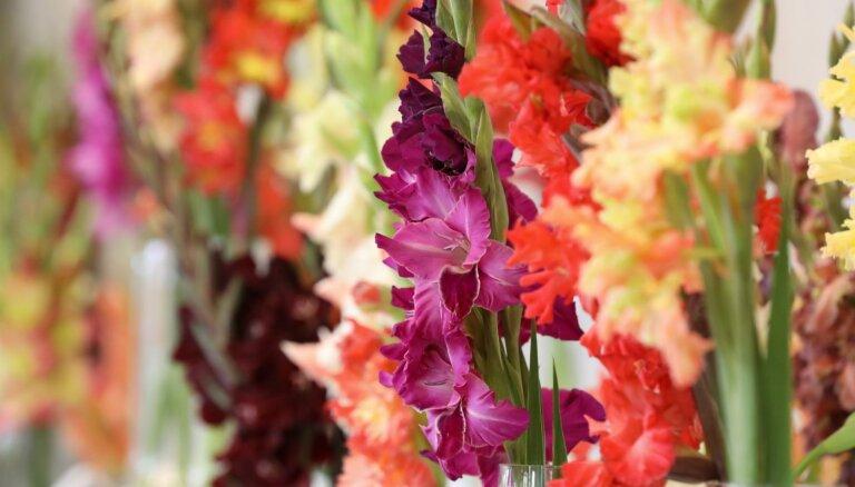 Liepājā 26. augustā atklās gladiolu izstādi