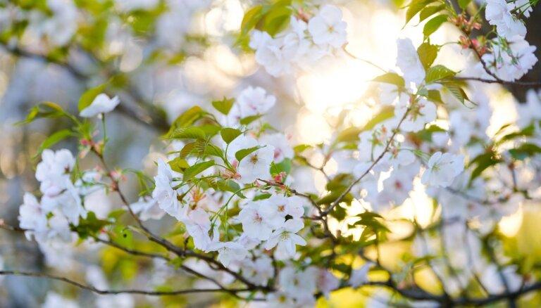 Maģiski foto: Dzestrs pavasara rīts sakuru ieskautajā Uzvaras parkā