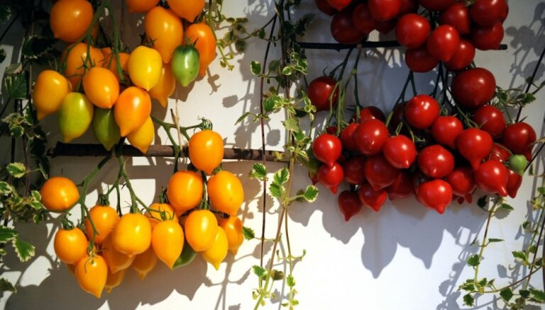 Foto: Tomātu un veselības augu parāde Latvijas Dabas muzejā