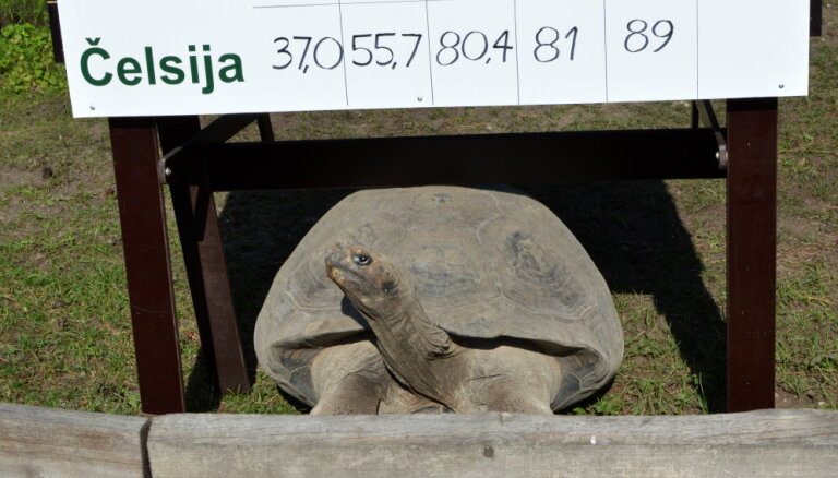 Foto: Norisinās ikgadējā Galapagu bruņurupuču svēršana