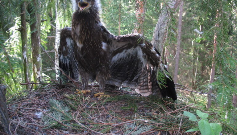 Mākslīgā ligzda – iznīcināto mājvietu aizstājējs mazajiem ērgļiem