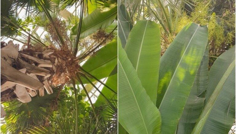 Foto: Botāniskajā dārzā Kauņā uzziedējusi Lietuvas augstākā palma