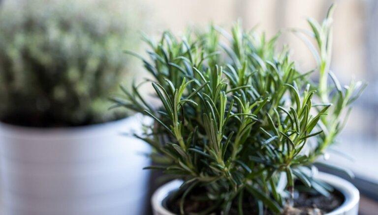 Garšaugu klasika: interesanti fakti par rozmarīnu un tā audzēšanu