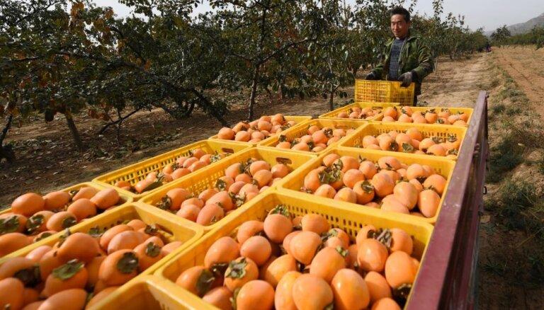 Foto: Ķīnā novāc košās hurmas – augļus, kas cilvēkam var arī kaitēt