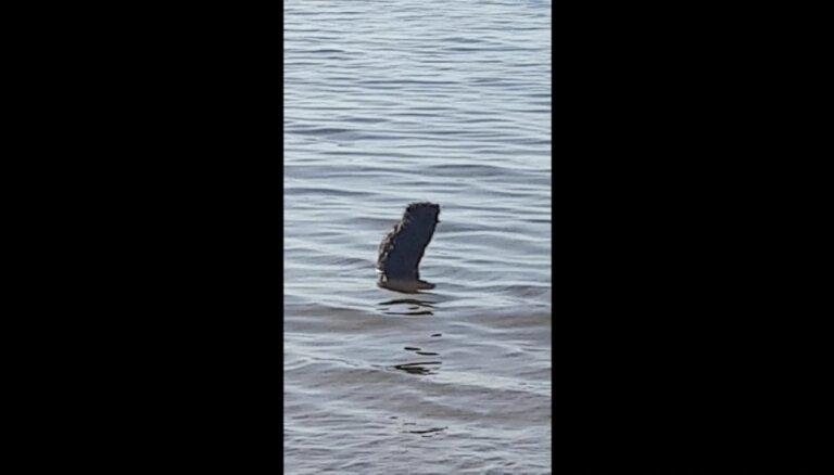 ВИДЕО: Бобр принял ванну на пляже в Саулкрасти
