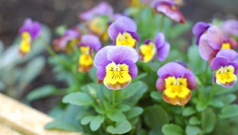 Dzīvespriecīgās atraitnītes un būtiskākais par to audzēšanu mānīgajā pavasarī
