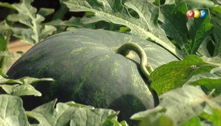 Video: Burtnieku novadā audzē melones un arbūzus