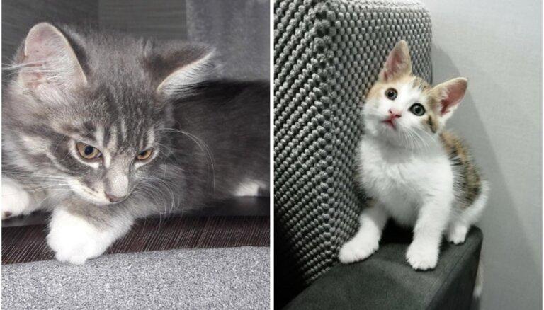 Vien dažus mēnešus veci: kaķēni, kas cer atrast mīlošas mājas
