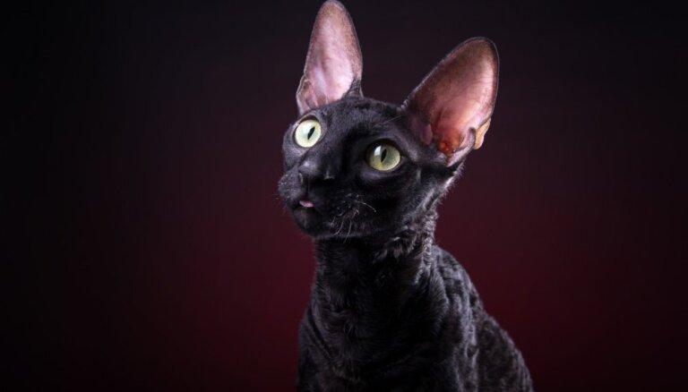 Kaķu šķirne: reksi