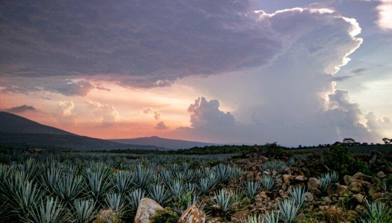 Foto: 'Latvijas balzama' īpašnieks iegādājies agaves laukus Meksikā