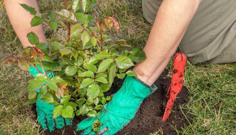 Rozes var stādīt līdz rudenim. Noderīgas vadlīnijas augu stādīšanā