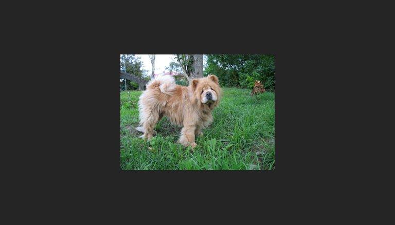 Dzīvnieku SOS: čaučau kucītei vajadzīgi ziedojumi un jauns saimnieks