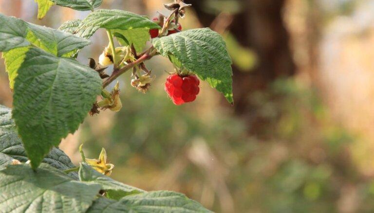 Rudens avenājos – kā sagatavot augu ziemai