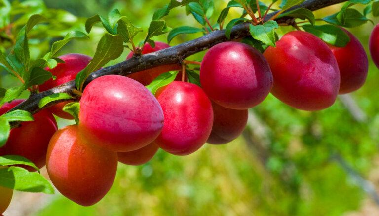 Augļu koku potēšana: vai uz ābeles var uzpotēt bumbieri vai plūmi