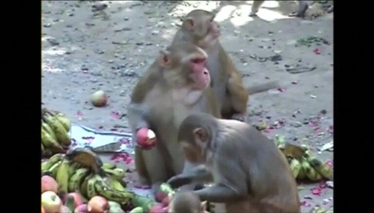Pērtiķi 'apēd' Vārānasī internetu; bremzē Indijas digitālo revolūciju
