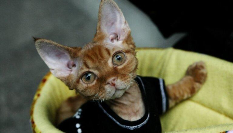 Kaķu šķirne: Devonas rekss