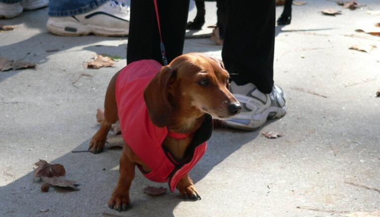 Jo aukstāks laiks, jo aktīvākas suņu pastaigas. Kā rūpēties par suņa veselību rudenī?