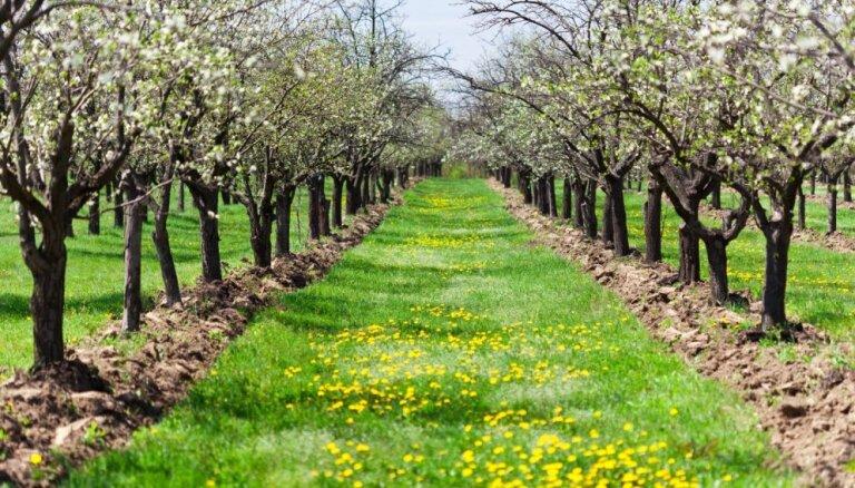 Izplatītākās augļu koku slimības un padomi to ierobežošanai