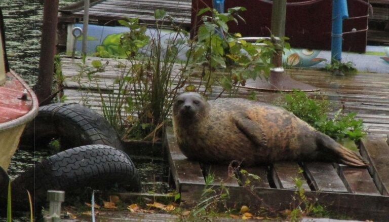 ФОТО: В Озолниекском пруду замечен кольчатый тюлень
