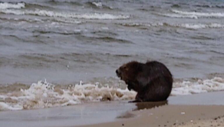 Video: Omulīgs bebrs veldzējas jūrā