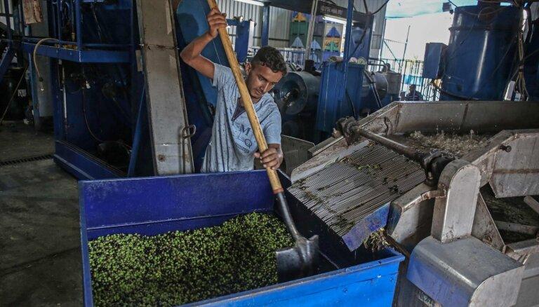 Foto: Kā Palestīnā novāc un pārstrādā olīvas