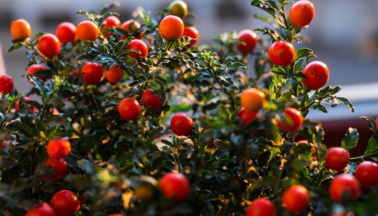 Dekoratīvs telpaugs ar oranžiem, dekoratīviem augļiem – korālene un tās kopšana