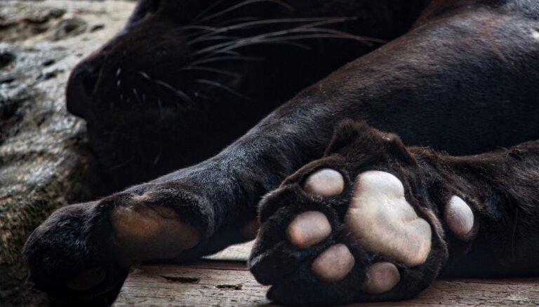 Policija sākusi kriminālprocesu par melnā leoparda turēšanu dzīvoklī Rīgā