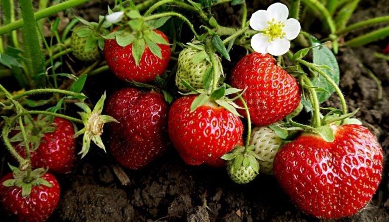 Stādu audzētāji iesaka: agrākās un iecienītākās zemeņu šķirnes