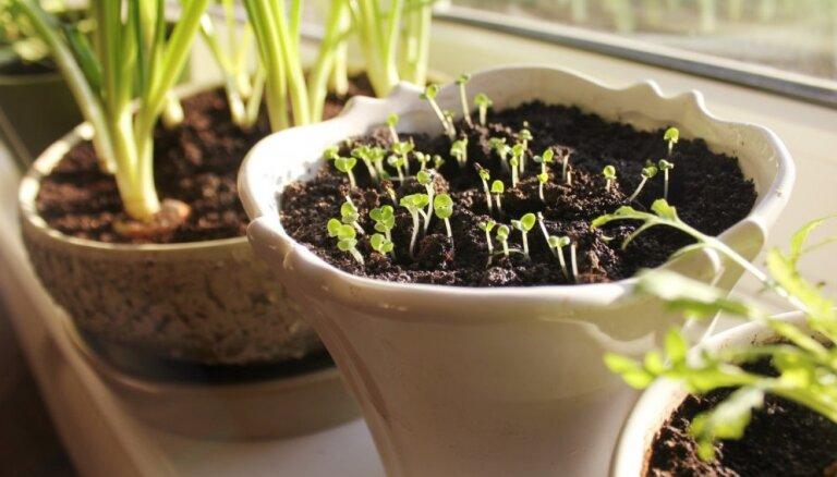 Вестник весны: как правильно организовать мини-сад на подоконнике