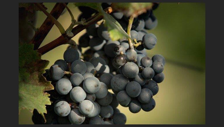 Aicina uz ikgadējo Latvijas vīnogu izstādi
