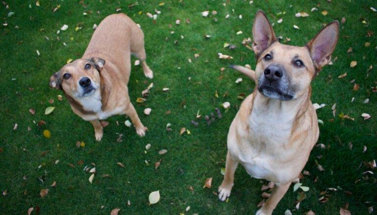 Suņu zinātne: četrkājainie draugi mūs nesaprot tik labi, cik gribētos domāt
