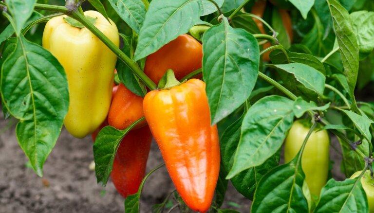 Samērīgi palutina ar kalciju: darāmie darbi paprikas audzēšanā