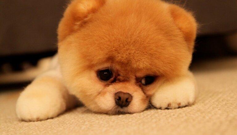 Foto: Pasaulē mīļākais suņuks Bū