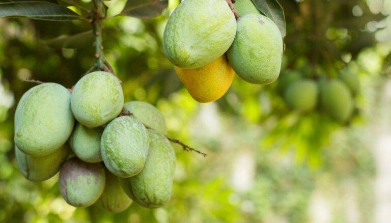 Dieva auglis mango – kā tas aug tālajās zemēs